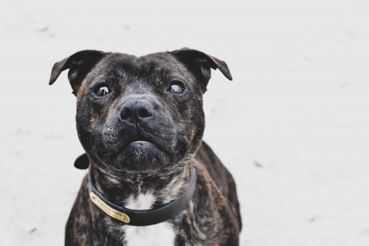 An interview with PD Cooper – Staffordshire Police's only Staffordshire Bull Terrier